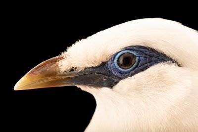 Photo: Critically endangered Bali mynah or Bali starling (Leucopsar rothschildi) at Lisbon Zoo.