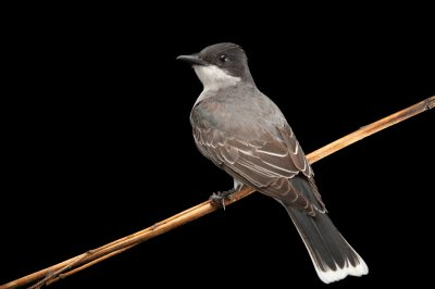 Photo: An eastern kingbird (Tyrannus tyrannus) in Wood River, Nebraska, USA.