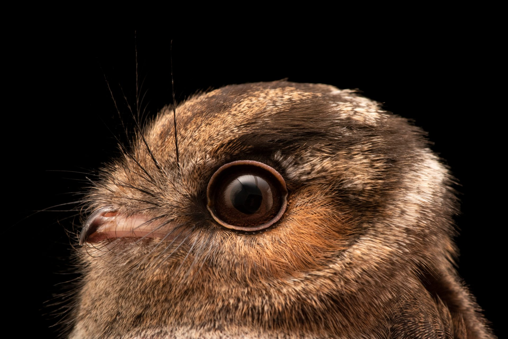 Photo: Australian owlet nightjar (Aegotheles cristatus) at Moonlit Sanctuary