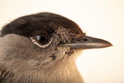 A male Eurasian blackcap (Sylvia atricapilla) at the Environmental Education Center of the Ribeiras de Gaia.