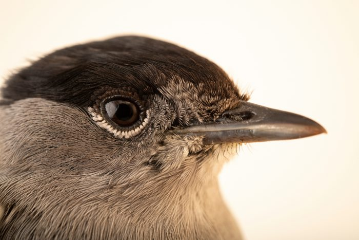 A male Eurasian blackcap (Sylvia atricapilla) at the Environmental Education Center of the Ribeiras de Gaia.