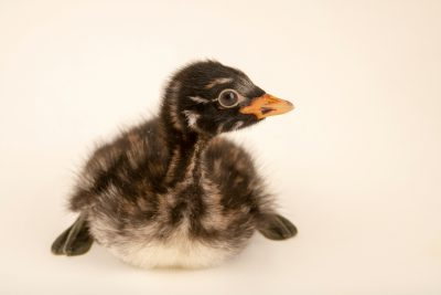 Photo: A juvenile little grebe (Tachybaptus ruficollis ruficollis) at Hessilhead Wildlife Rescue.