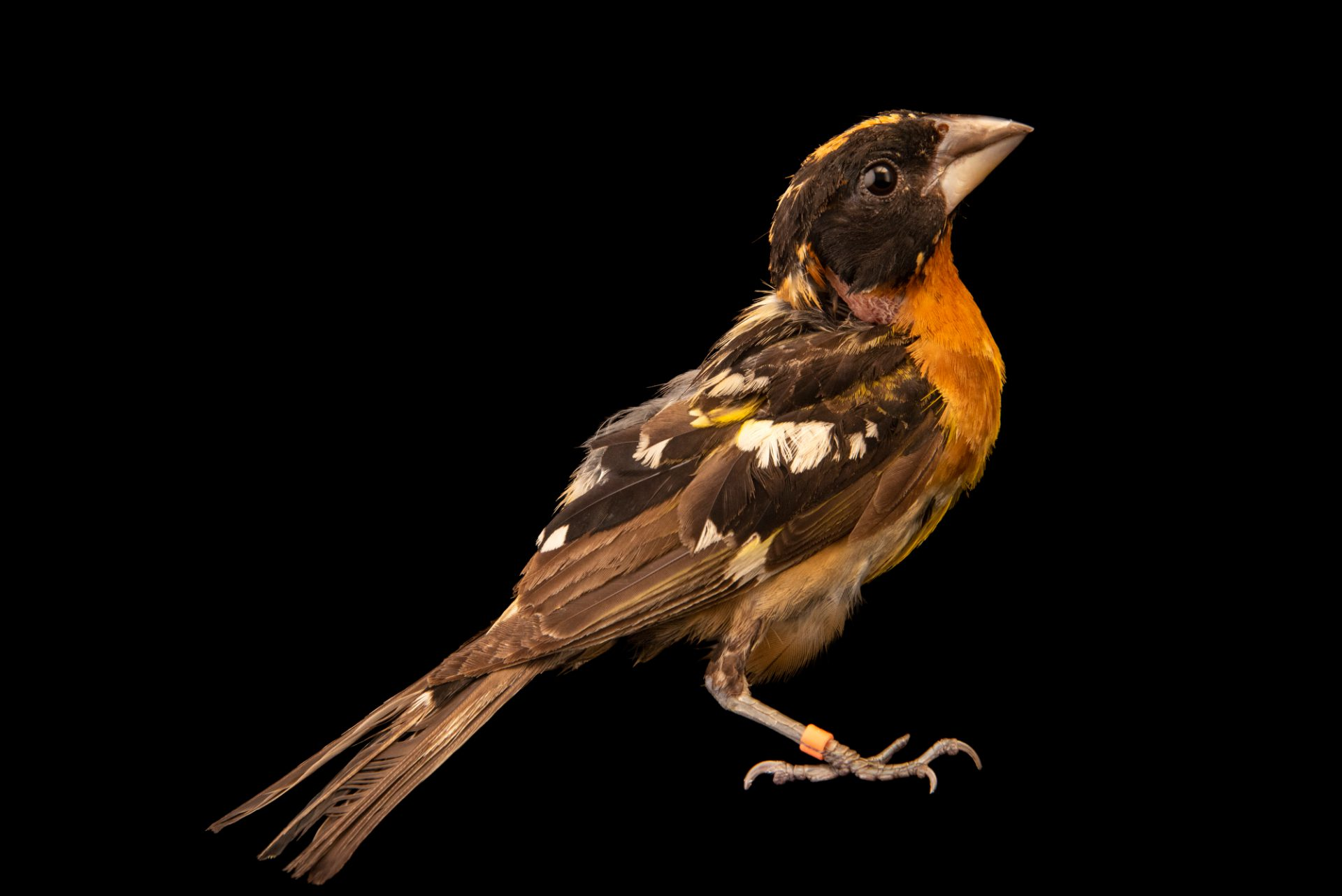 Photo: Black Headed Grosbeak (Pheucticus melanocephalus) at the Wildlife Care Association