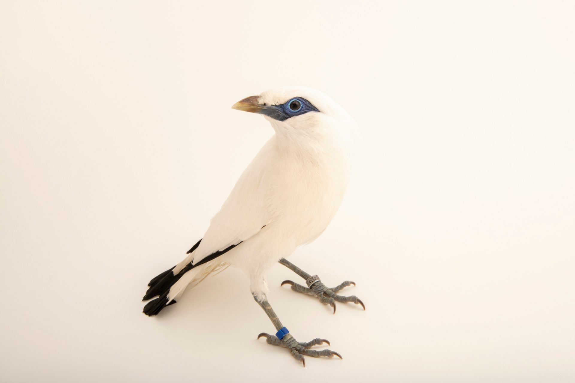 Critically endangered male Bali myna (Leucopsar rothschildi) at Lisbon Zoo.