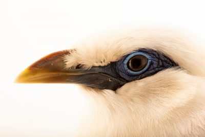 Photo: A male Bali myna (Leucopsar rothschildi) at the Lisbon Zoo
