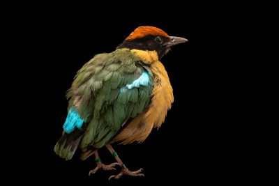 Photo: Noisy pitta (Pitta versicolor) at Melbourne Zoo.