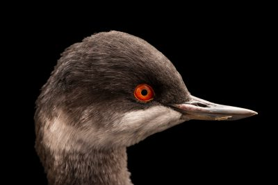 Photo: Black-necked grebe (Podiceps nigricollis) at Monticello Center in Italy.