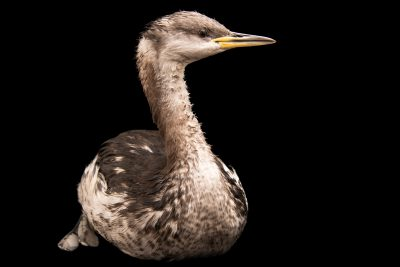 Red-necked grebe (Podiceps grisegena grisegena) at Monticello Center in Italy.