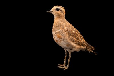 Photo: Eurasian dotterel (Charadrius morinellus) at Monticello Center in Italy.