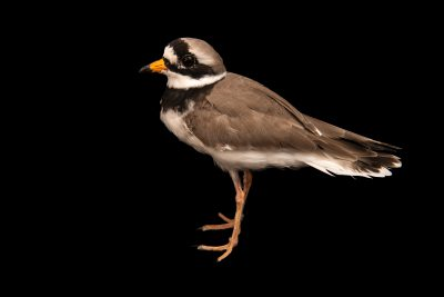 Photo: Ringed plover (Charadrius hiaticula) at Monticello Center in Italy.