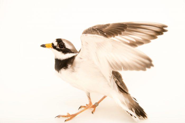 Photo: Ringed plover (Charadrius hiaticula) at Monticello Center in Italy.