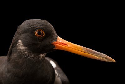 Photo: Eurasian oystercatcher (Haematopus ostralegus) at Monticello Center in Italy.