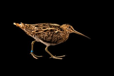 Photo: Common snipe (Gallinago gallinago gallinago) at Monticello Center in Italy.