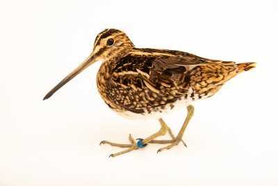 Photo: Common snipe (Gallinago gallinago) at Monticello Center in Italy.