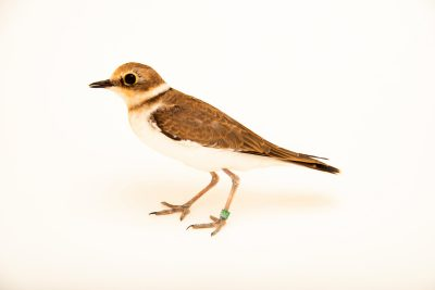 Photo: Little ringed plover (Charadrius dubius) at Monticello Center in Italy.