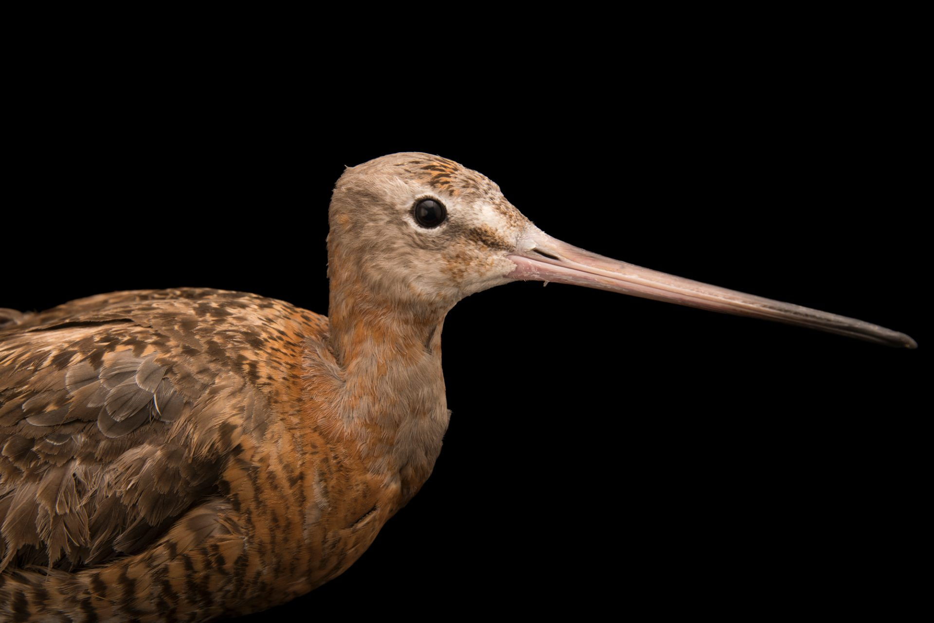 Photo: Black-tailed godwit (Limosa limosa) at Monticello Center in Italy.