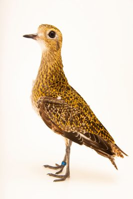 Photo: European golden plover (Pluvialis apricaria) at Monticello Center in Italy.