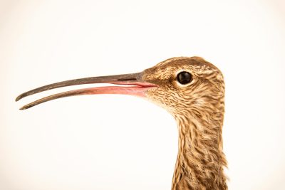 Photo: Eurasian whimbrel (Numenius phaeopus phaeopus) at Monticello Center in Italy.