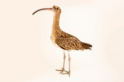 Photo: Eurasian curlew (Numenius arquata) at Monticello Center in Italy.