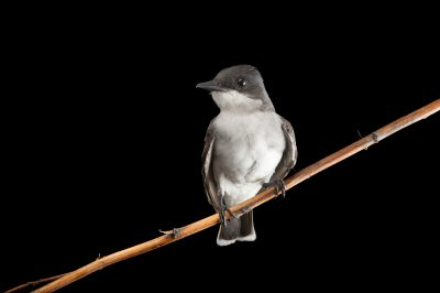 Photo: An Eastern kingbird (Tyrannus tyrannus) wild caught by biologists using a mist net, near Wood River, Nebraska.