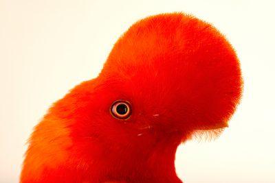 Photo: Andean cock-of-the-rock (Rupicola peruviana sanguinolenta) at the Dallas World Aquarium.