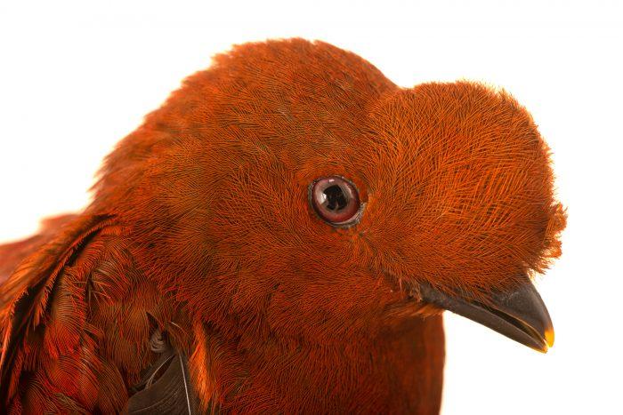 Photo: Female Andean cock-of-the-rock (Rupicola peruviana sanguinolenta) at the Dallas World Aquarium.