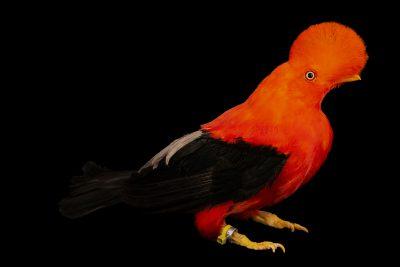 Photo: Male Andean cock-of-the-rock (Rupicola peruviana sanguinolenta) at the Dallas World Aquarium.