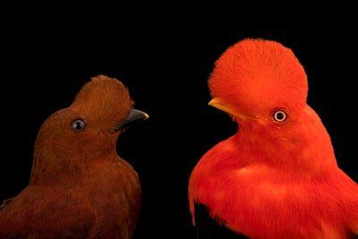 Photo: A pair of Andean cock-of-the-rock (Rupicola peruviana sanguinolenta) at the Dallas World Aquarium.
