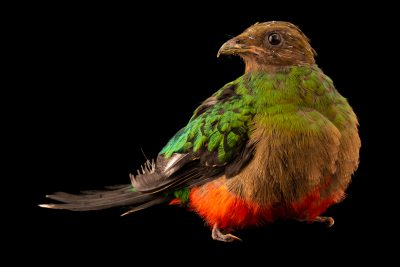 Photo: A female Golden-headed quetzal (Pharomachrus auriceps) at the Dallas World Aquarium.