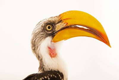 Photo: A male southern yellow-billed hornbill (Tockus leucomelas) at the Dallas World Aquarium.