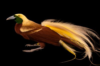 Photo: A male lesser bird-of-paradise (Paradisaea minor) at the Dallas World Aquarium.
