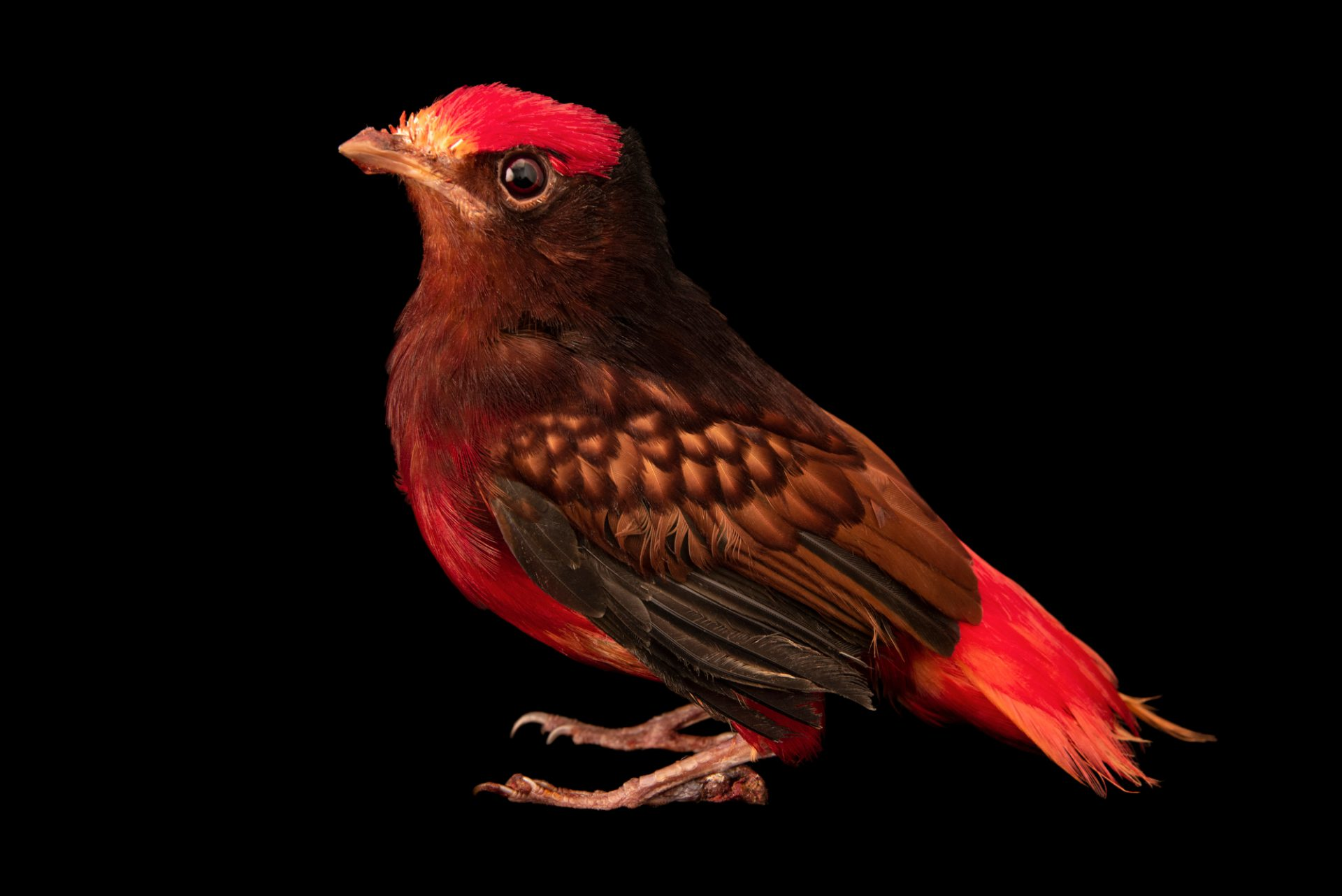 Photo: Guianan red-cotinga (Phoenicircus carnifex) at the Dallas World Aquarium.