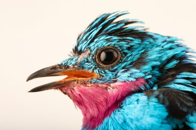 Photo: A male spangled cotinga (Cotinga cayana) at the Dallas World Aquarium.