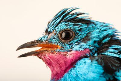 Photo: A male spangled cotinga (Cotinga cayana) at the Dallas World Aquarium.