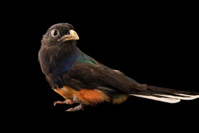 Photo: Green-backed trogon (Trogon viridis) at the Dallas World Aquarium.