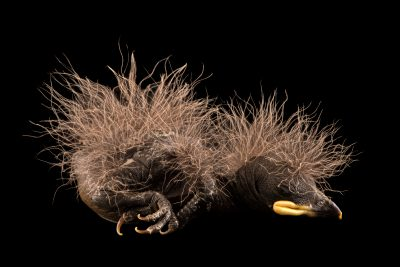 Photo: One-week-old Guianan cock-of-the-rock (Rupicola rupicola) at the Dallas World Aquarium.