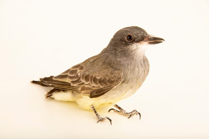 Photo: A Cassin's kingbird (Tyrannus vociferans) at Liberty Wildlife in Phoenix, AZ.