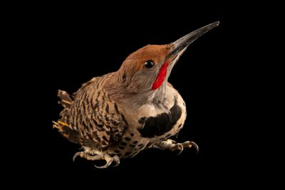 Photo: A Gilded flicker (Colaptes chrysoides) at Liberty Wildlife in Phoenix, AZ.
