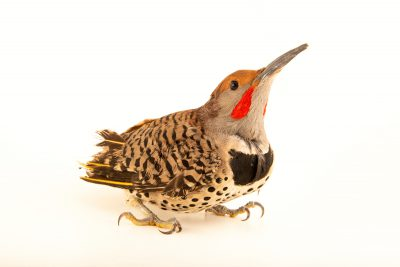 Photo: A Gilded flicker (Colaptes chrysoides) at Liberty Wildlifem in Phoenix, AZ.