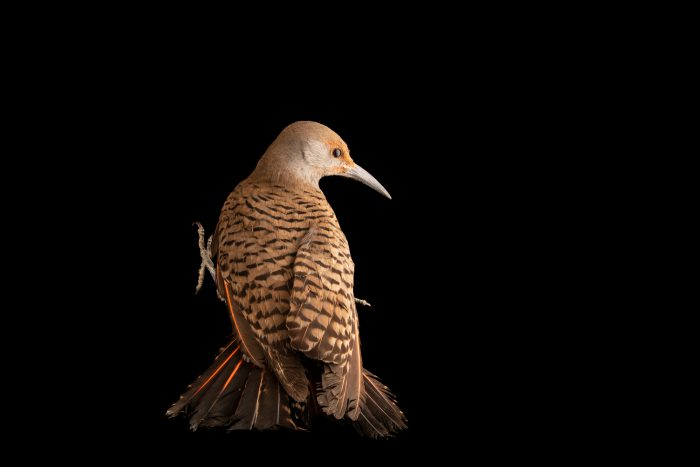 Photo: A red-shafted flicker (Colaptes auratus cafer) at Liberty Wildlife in Phoenix, AZ.