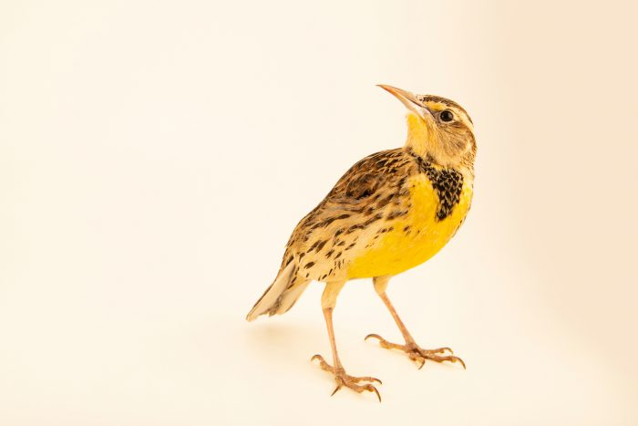 Photo: Western meadowlark (Sturnella neglecta) at Milford Nature Center.