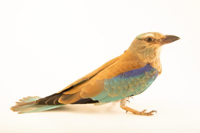 Photo: European roller (Coracias garrulus) at Wroclaw Zoo.
