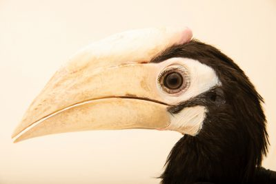 Photo: Palawan hornbill (Anthracoceros marchei) at Wroclaw Zoo. This species is listed as vulnerable according to IUCN.