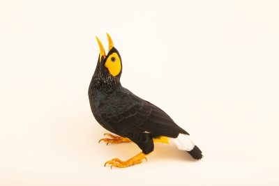 Photo: A yellow-faced myna, Mino dumontii, at Talarak Foundation.