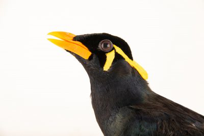Photo: A Palawan hill myna, Gracula religiosa palawanensis, at Talarak Foundation.