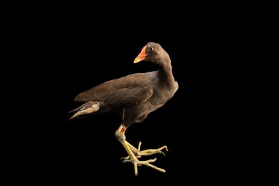 Photo: Common moorhen (Gallinula chloropus orientalis) at the Avilon Zoo.