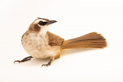 Photo: Yellow-vented bulbul (Pycnonotus goiavier goiavier) at the Avilon Zoo.