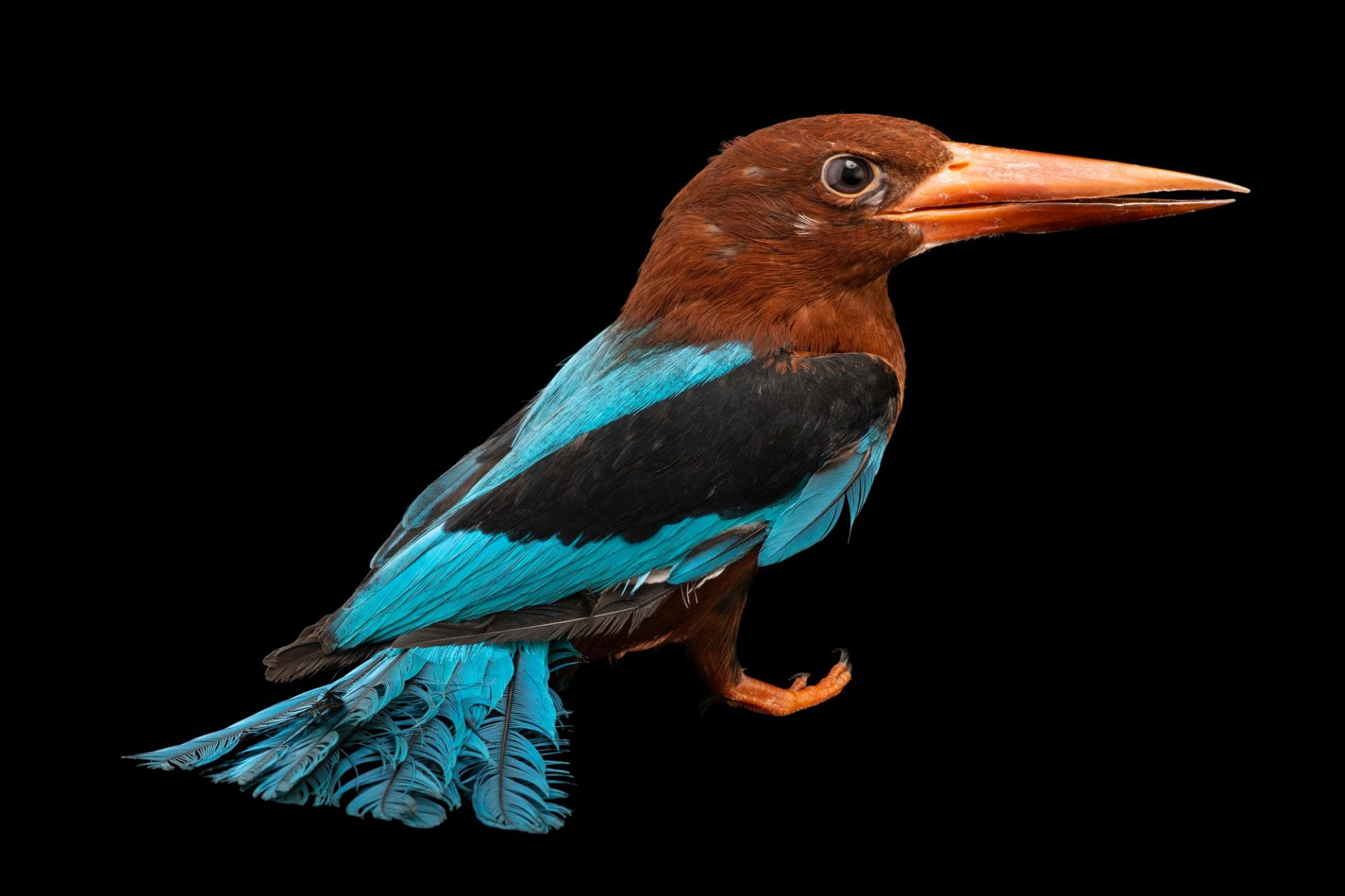 Photo: A white-throated kingfisher (Halcyon gularis) at the Avilon Zoo.