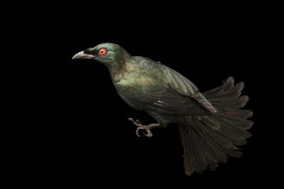 Photo: An Asian glossy starling (Aplonis panayensis panayensis) at the Avilon Zoo.
