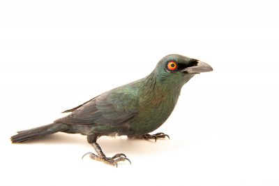 Photo: An Asian glossy starling (Aplonis panayensis panayensis) at the Avilon Zoo.